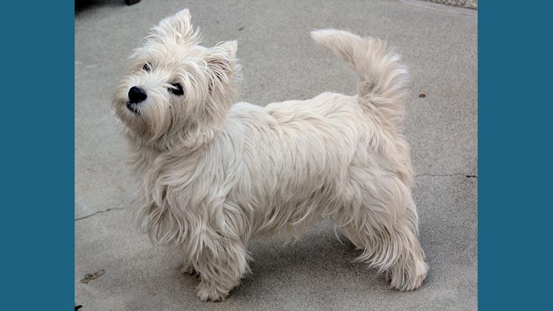 Dandie Dinmont Terrier 5