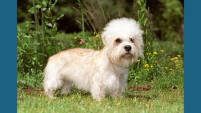Dandie Dinmont Terrier 6