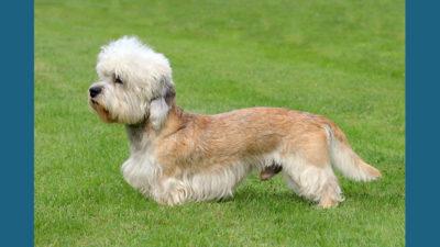 Dandie Dinmont Terrier 7