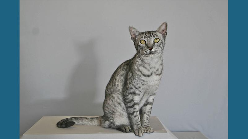 Egyptian Mau 1