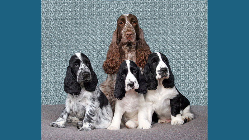 English Cocker Spaniel 10