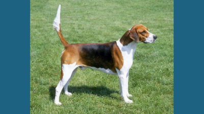 English Foxhound 1