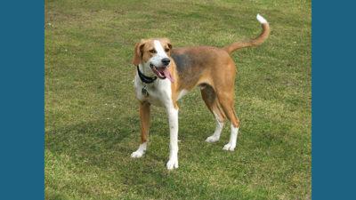 English Foxhound 3