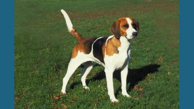 English Foxhound 4