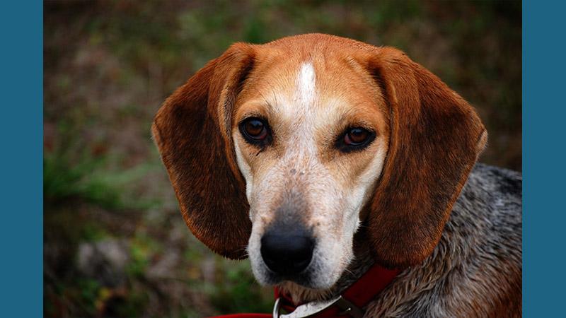 English Foxhound 5