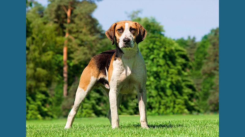 English Foxhound 6