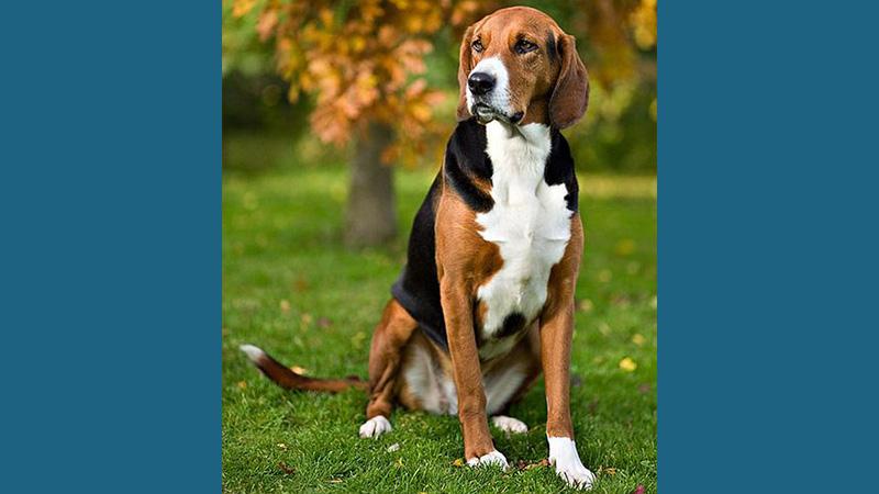 English Foxhound 7
