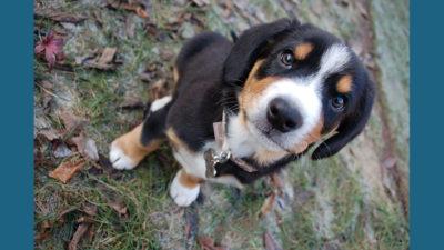 Entlebucher Mountain Dog 1