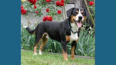Entlebucher Mountain Dog 2