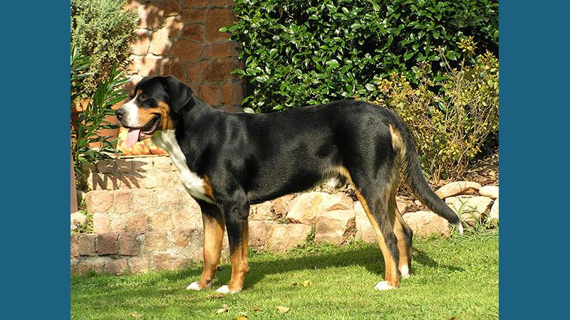 Entlebucher Mountain Dog 3