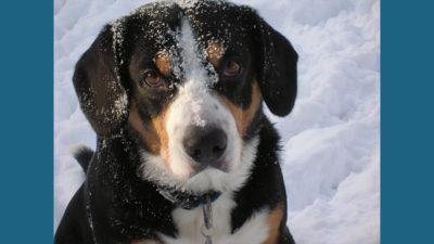 Entlebucher Mountain Dog 5
