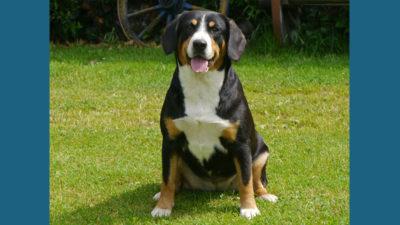 Entlebucher Mountain Dog 9