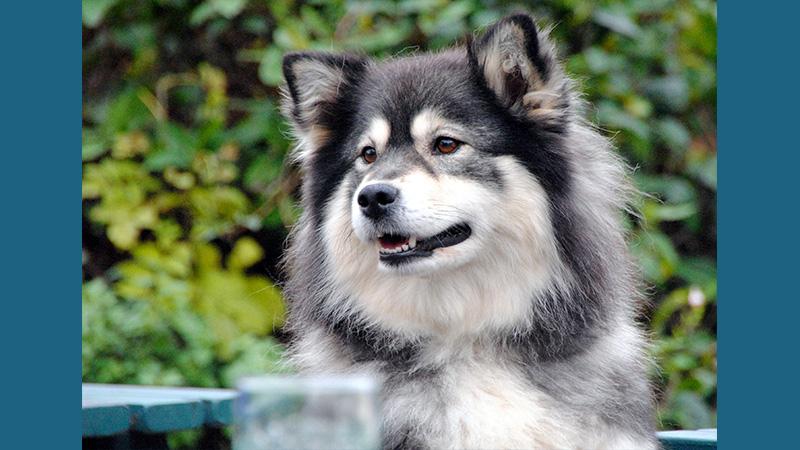 Finnish Lapphund 1