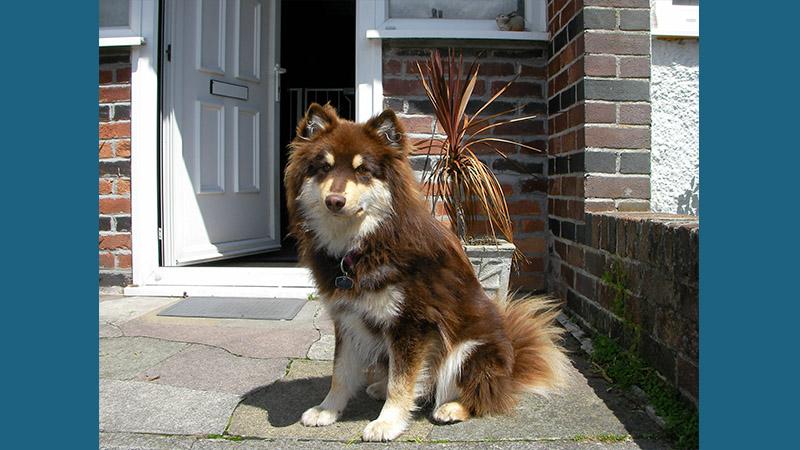Finnish Lapphund 13