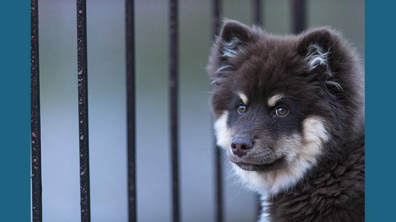 Finnish Lapphund 14