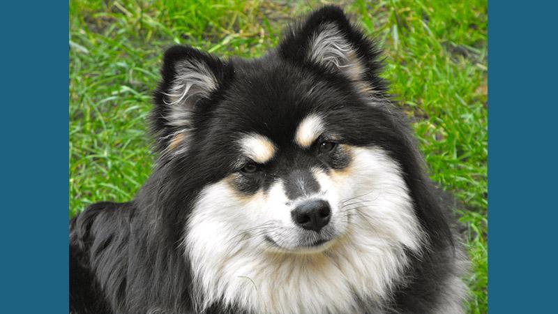 Finnish Lapphund 2