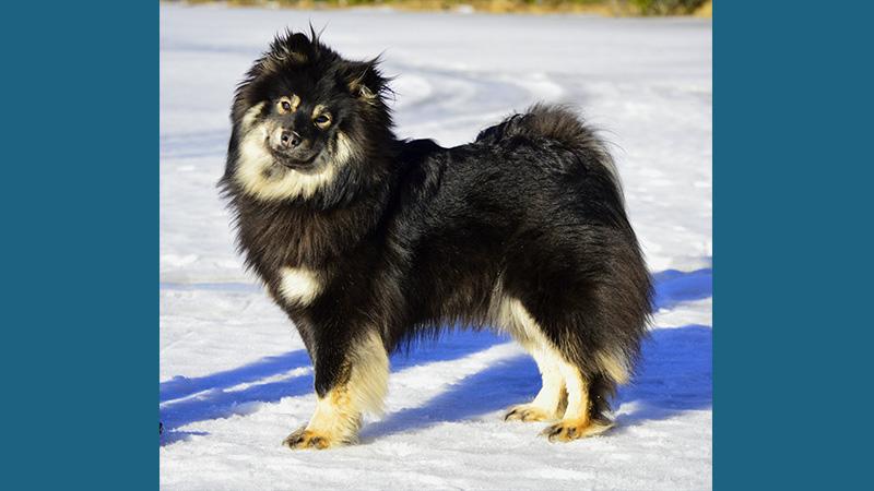 Finnish Lapphund 4