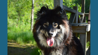 Finnish Lapphund 5