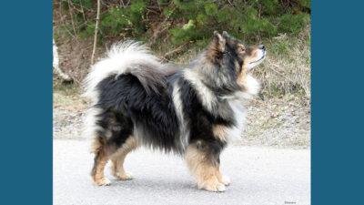 Finnish Lapphund 6