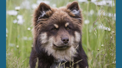 Finnish Lapphund 7