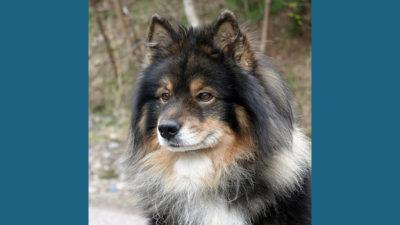 Finnish Lapphund 8