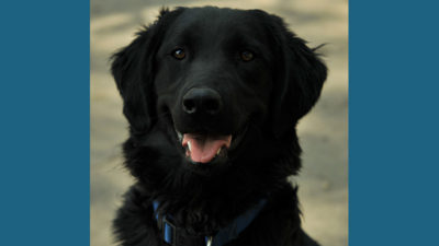 Flat - Coated Retriever 1