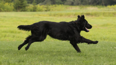 Flat - Coated Retriever 10