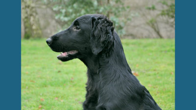 Flat - Coated Retriever 12