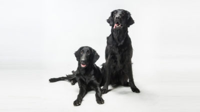 Flat - Coated Retriever 15