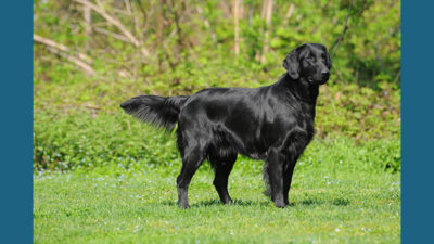 Flat - Coated Retriever 2