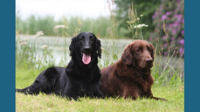 Flat - Coated Retriever 8