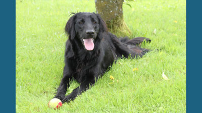 Flat - Coated Retriever 9