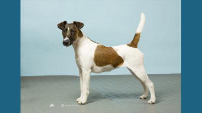 Fox Terrier 12
