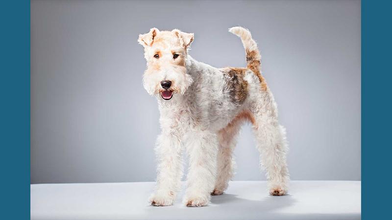 Fox Terrier 3
