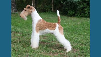 Fox Terrier 4