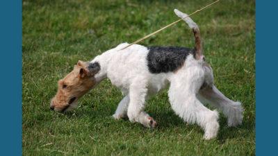 Fox Terrier 6