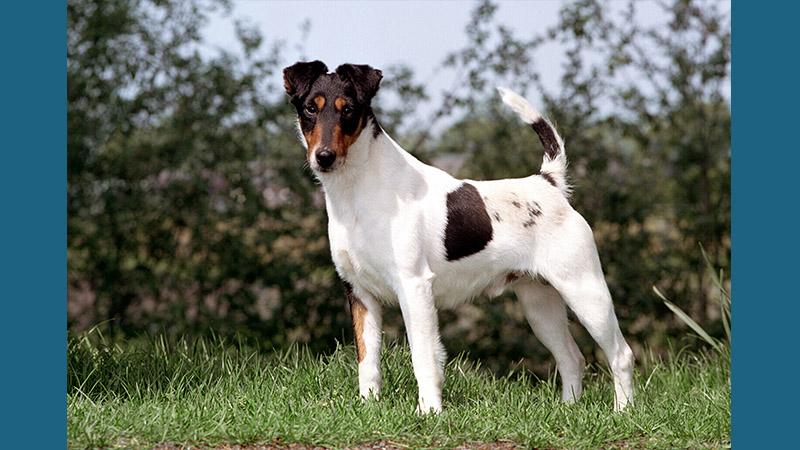 Fox Terrier 7