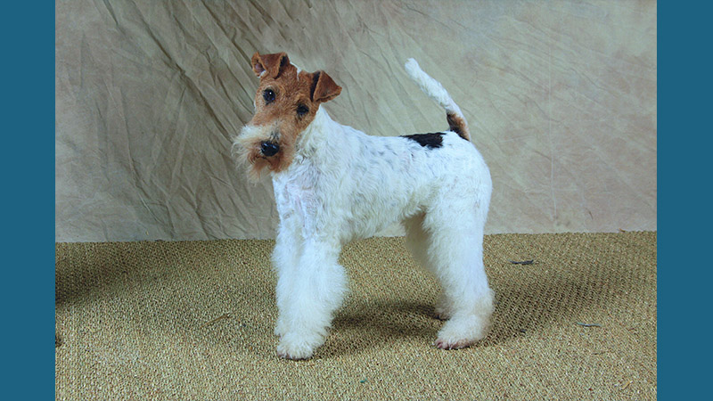 Fox Terrier 8