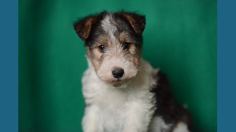 Fox Terrier 9