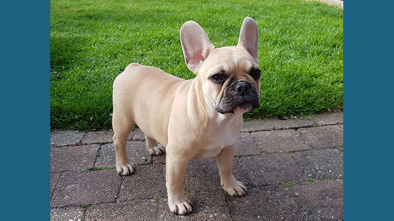 French Bulldog 10