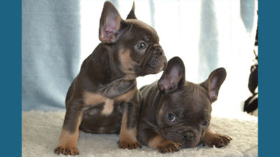 French Bulldog 11