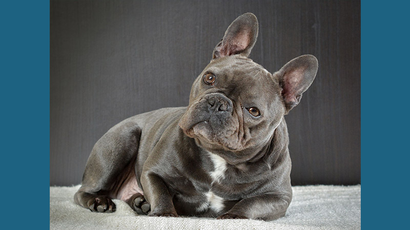 French Bulldog 14