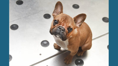 French Bulldog 15