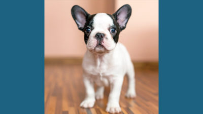French Bulldog 16