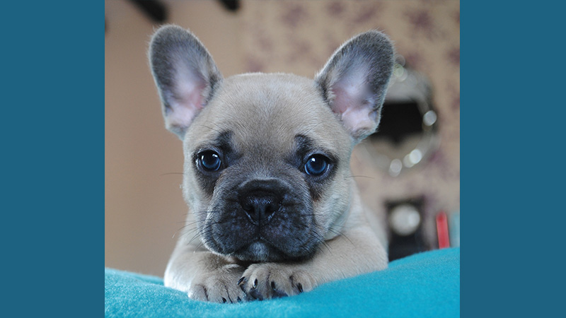 French Bulldog 4