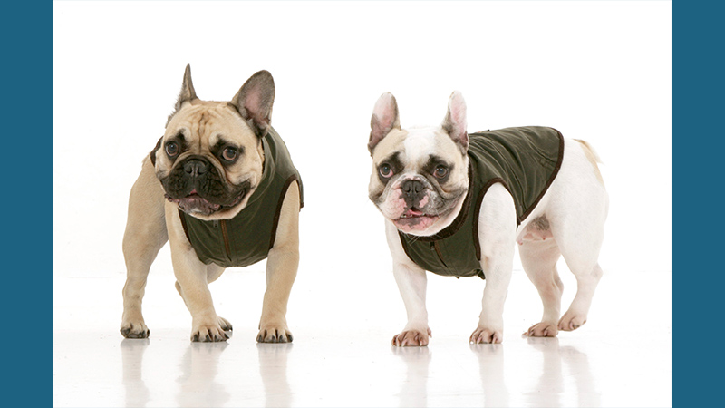 French Bulldog 7