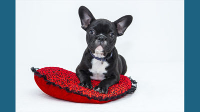 French Bulldog 9