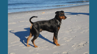 German Pinscher 1