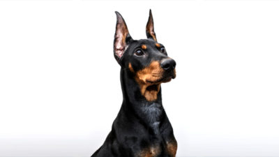 German Pinscher 2