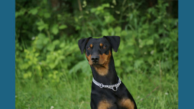 German Pinscher 4